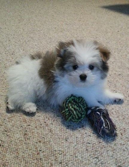 My Little Pomapoo Cute Baby Animals Cute Animals Cute Dogs