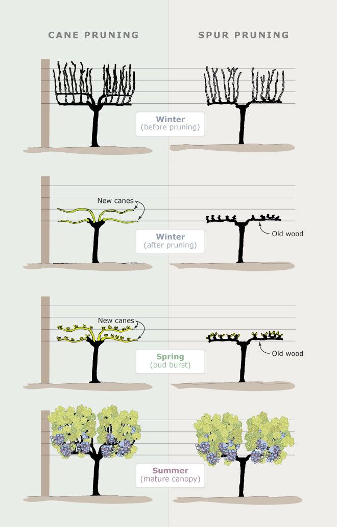 Afbeeldingsresultaat voor spur pruning