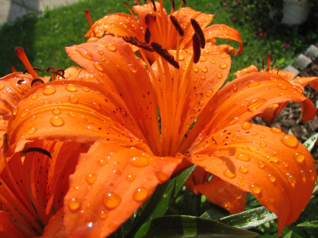 Lirios alaranjado pesquisa google garden pinterest flowers orange tiger lily just potted some of these with orange yellow and cream zinnias and a large pop of purple phlox izmirmasajfo Images