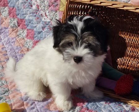 Litter Of 6 Havanese Puppies For Sale In Andover Ma Adn 56498 On