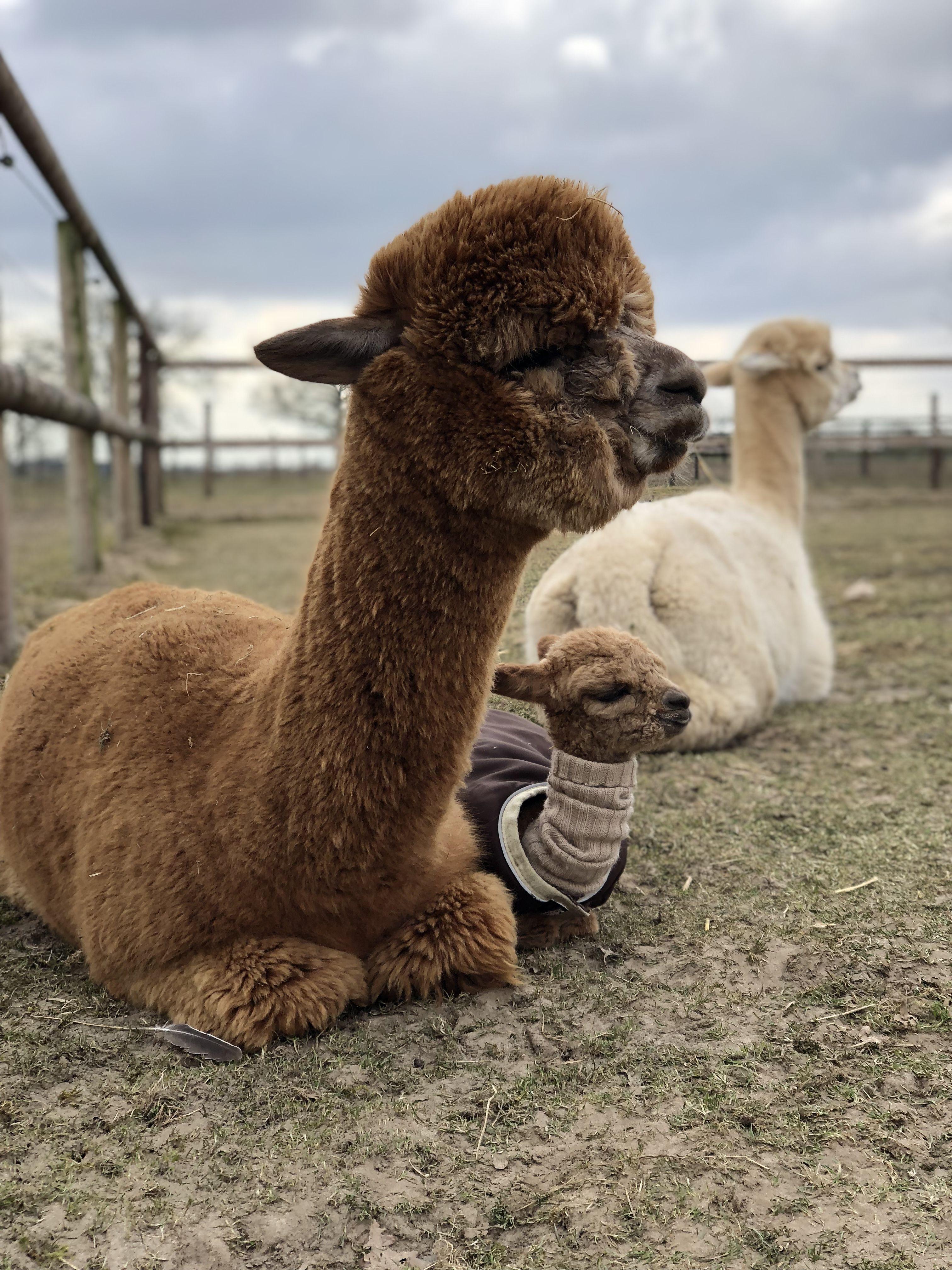 Alpakas Mutter Und Tochter Tina Toffee It S Not Just One