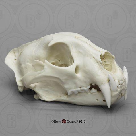 african leopard skull male  african leopard skull