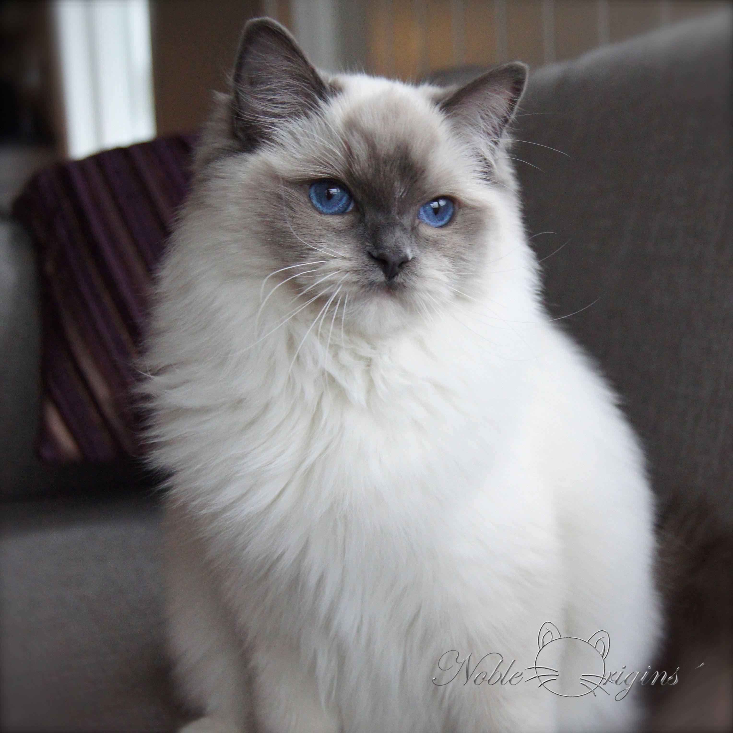 My Drama Queen Sophia Cats Cat Pics Feline