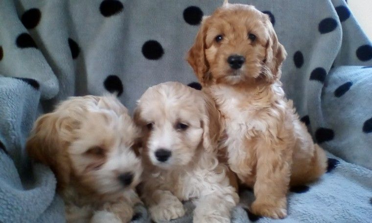 Apricot F1 Cockapoos Dogs Puppies Cockapoo