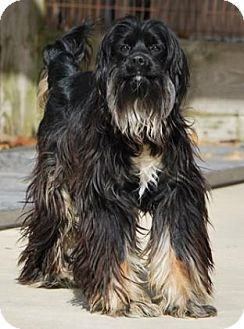 Wooster Oh Cocker Spaniel Afghan Hound Mix Meet Shaggy A Dog