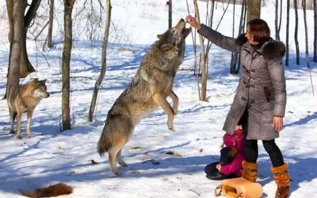Famiglia accoglie un branco di lupi e gli alleva come animali domestici #lupi #animalidomestici #famiglia