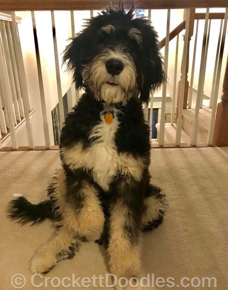 From Crockett Doodles | Animals | Bulldog puppies for sale