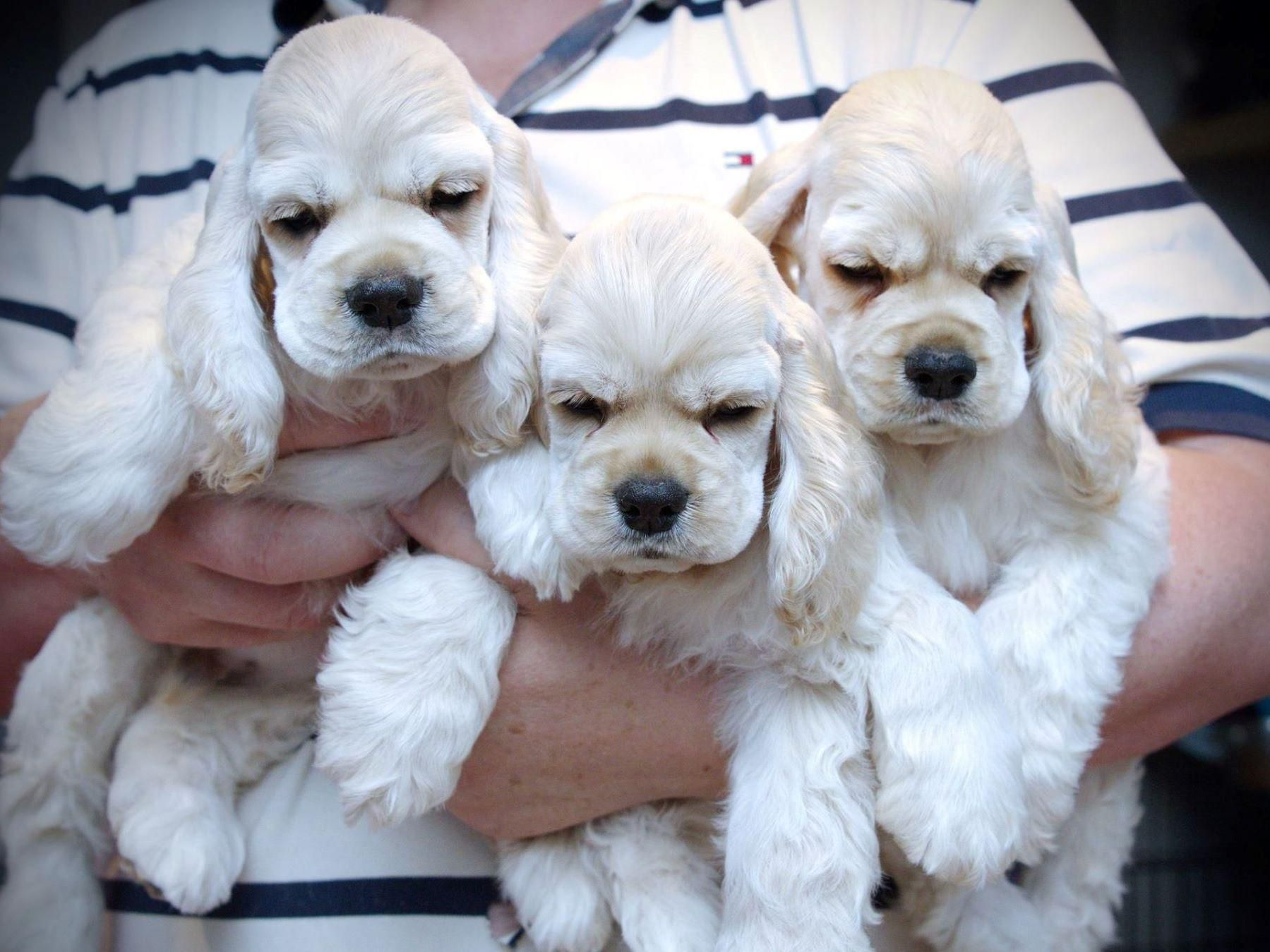 Ania S Cockers Has Cocker Spaniel Puppies For Sale In Mount Laurel