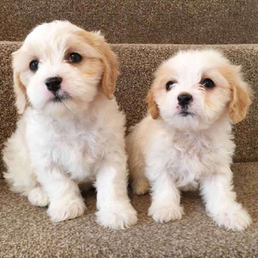 Cavachon Puppies For Sale Cavachon Puppies Cute Dogs And Puppies Cockapoo Puppies