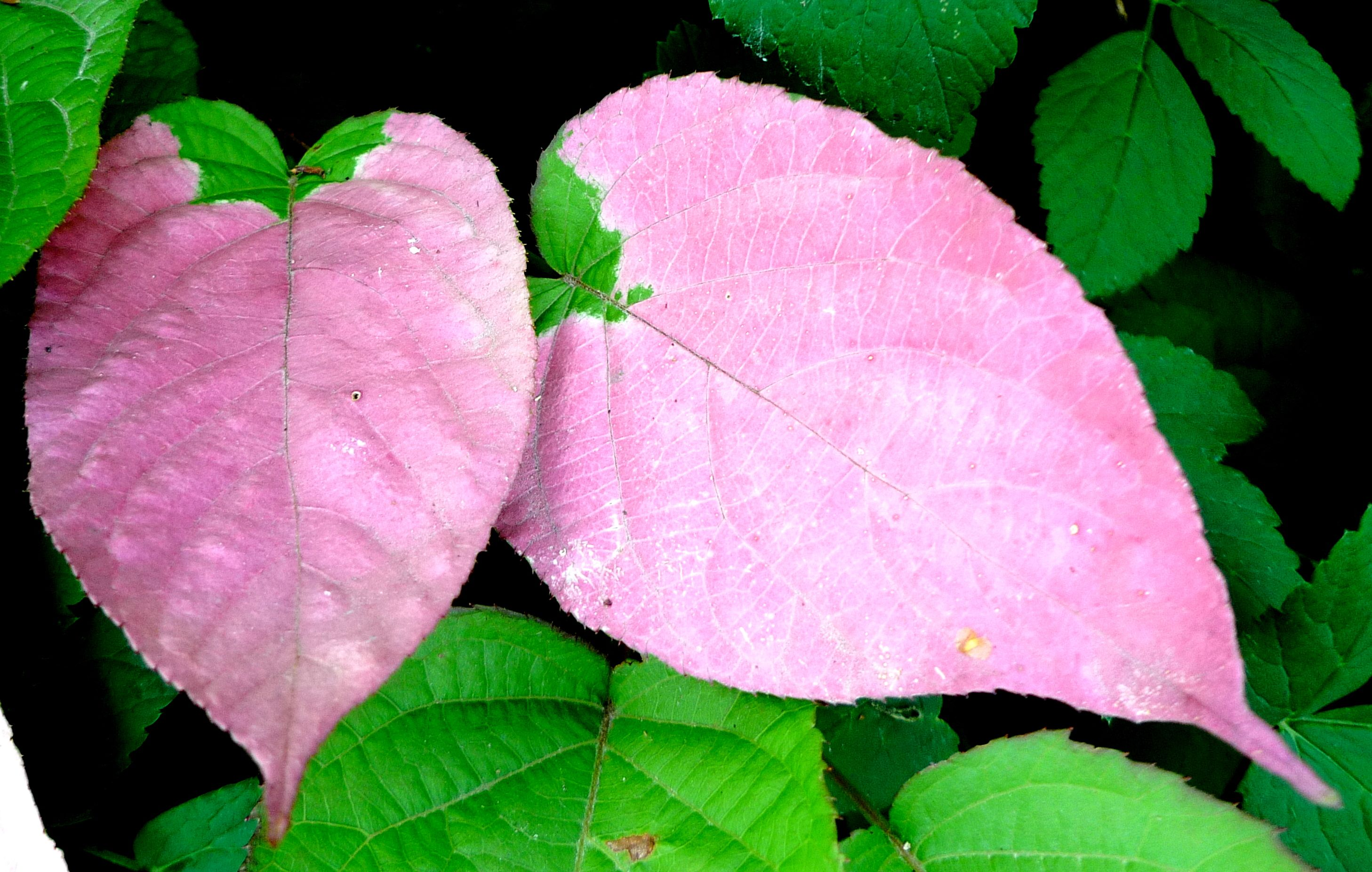 Actinidia Kolomikta Plant Leaves Plants Leaves