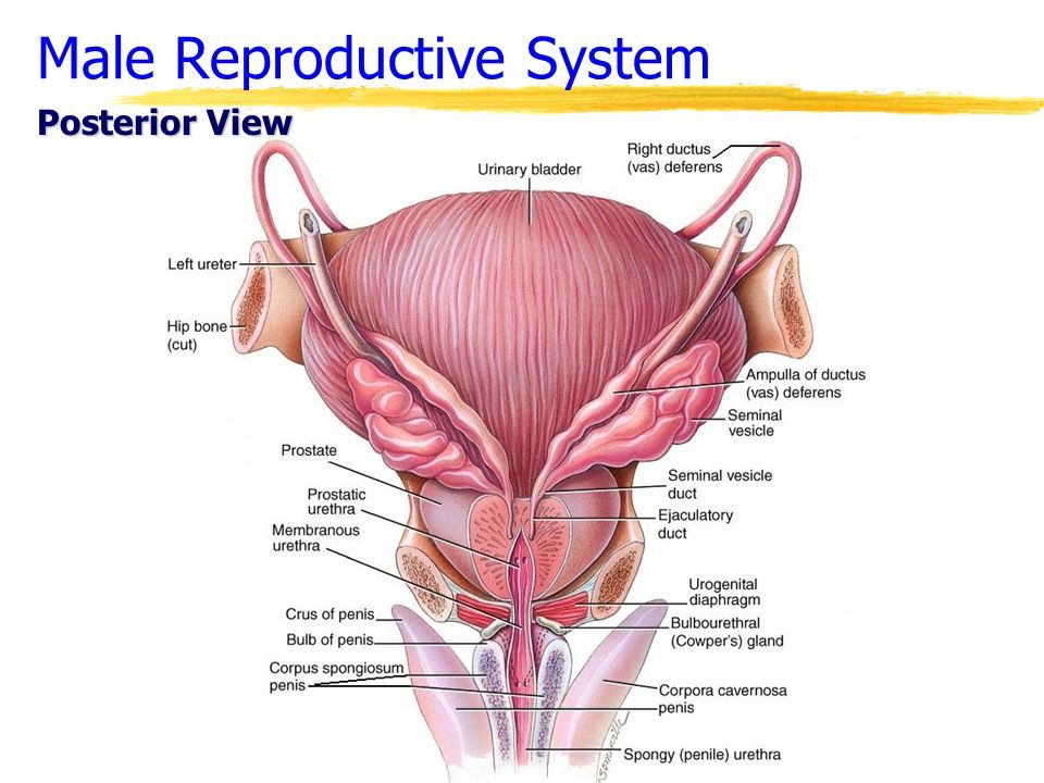 Image result for penis glands lab model posterior view | Anatomy ...