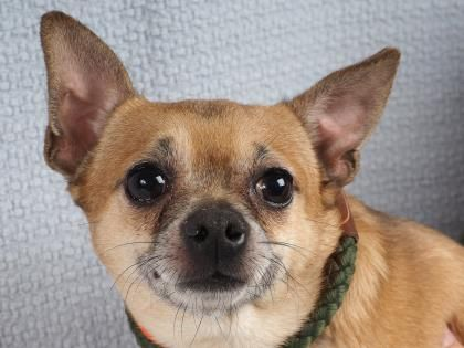 Meet Corona A 3 Years 3 Months Chihuahua Short Coat Available For Adoption In Colorado Springs Co Small Dog Adoption Puppy Adoption Dog Adoption