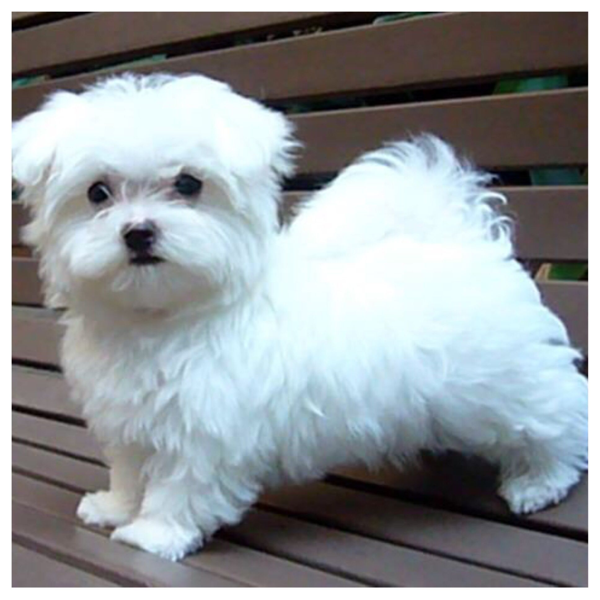 I need this puppy maltese Maltese puppy, Maltese dogs