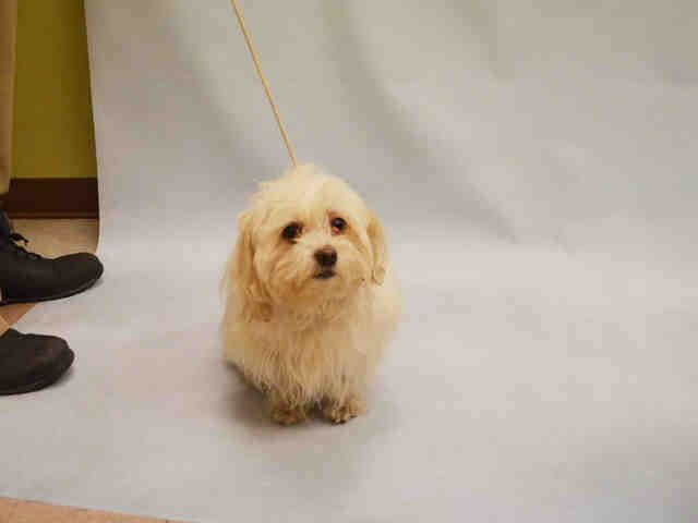 Butterfly A1060070 Maltese Mix Pets Homeless Pets