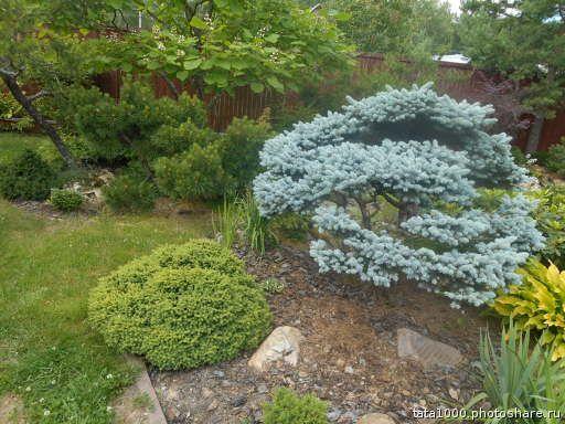 Picea abies Little Gem & Picea pungens Glauca Globosa | Linda ...