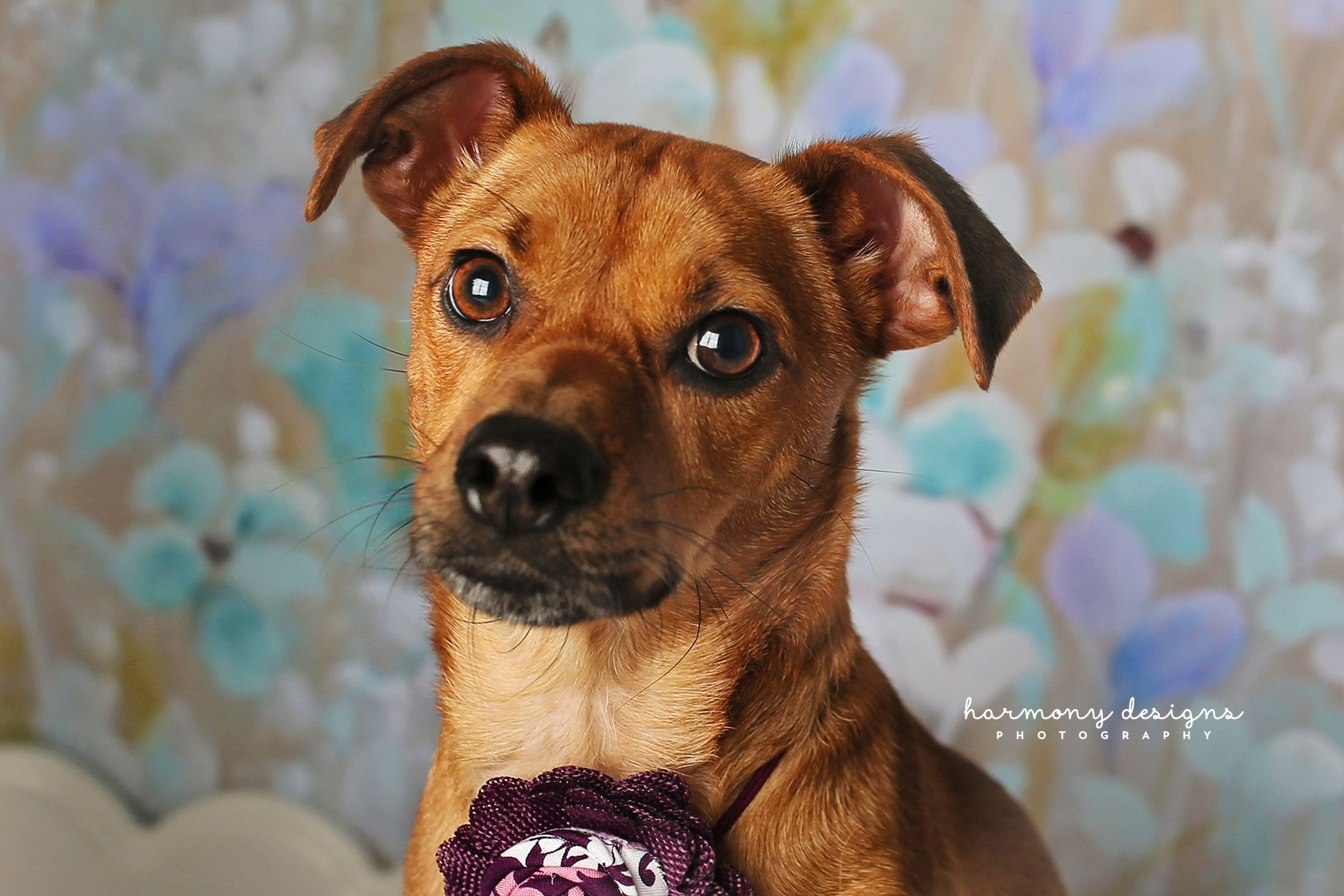 Dachshund Dog For Adoption In Nashville Tn Adn 499244 On