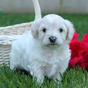 Cavachon Puppy For Sale In Gap Pa Adn 45747 On Puppyfinder Com Gender Female Age 4 Weeks Old Cavachon Puppies Puppies For Sale Cavachon