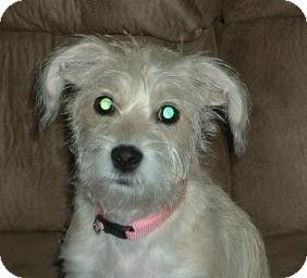 Appleton Wi Maltese Jack Russell Terrier Mix Meet Sunshine A