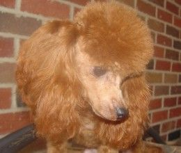 Available Puppies Toy Poodle Puppies Poodle Puppies For Sale