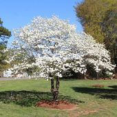 Photo of White Dogwood Tree – Cornus Florida for Sale – Brighter Blooms Nursery – Brigh…