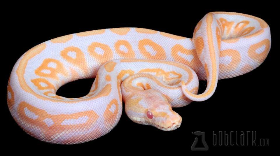 High contrast albino cinnamon ball python | Snakes | Ball python