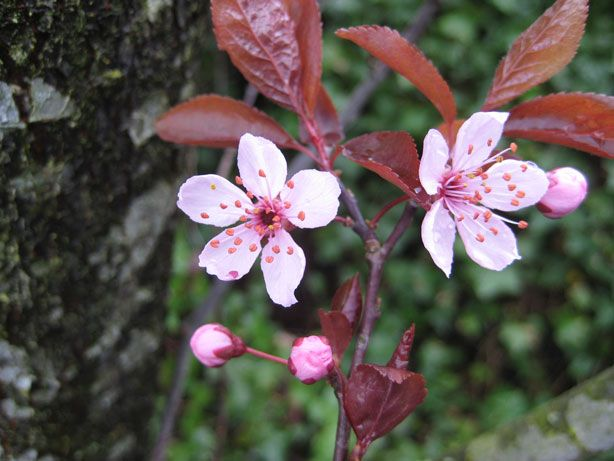 Cherry Versus Plum Blossoms What S The Difference Plum Blossom Cherry Blossom Festival Blossom