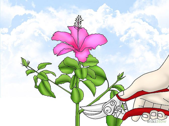 Propagate Hibiscus | Boutures, Jardins et Jardinage