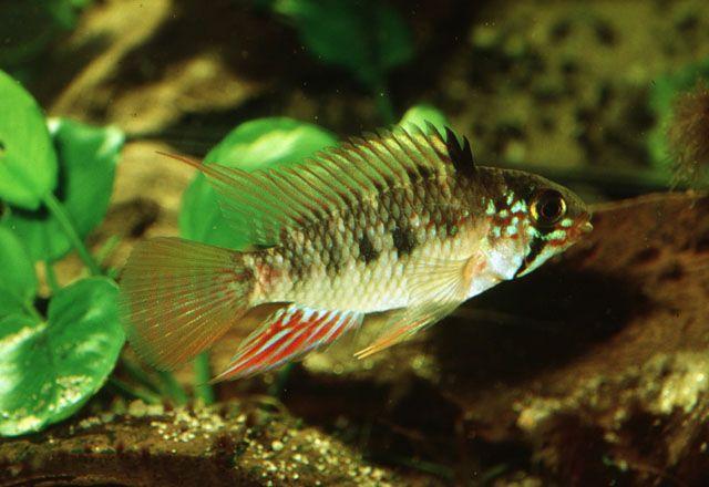 Pictures Summary Tropical Aquarium Cichlids Aquarium Fish