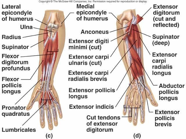 Flexor Tendons Hand Flexor Tendon Elbow Med School Pinterest