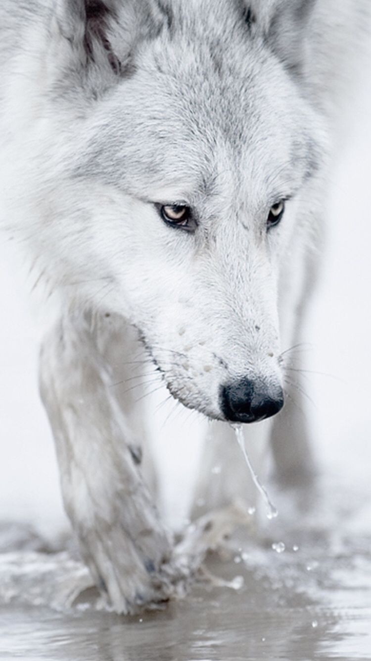 Check Out This Wallpaper For Your Iphone Http Zedge Net W10873371 Src Ios V 2 5 Via Zedge White Wolf Wolf Images Werewolf Stories