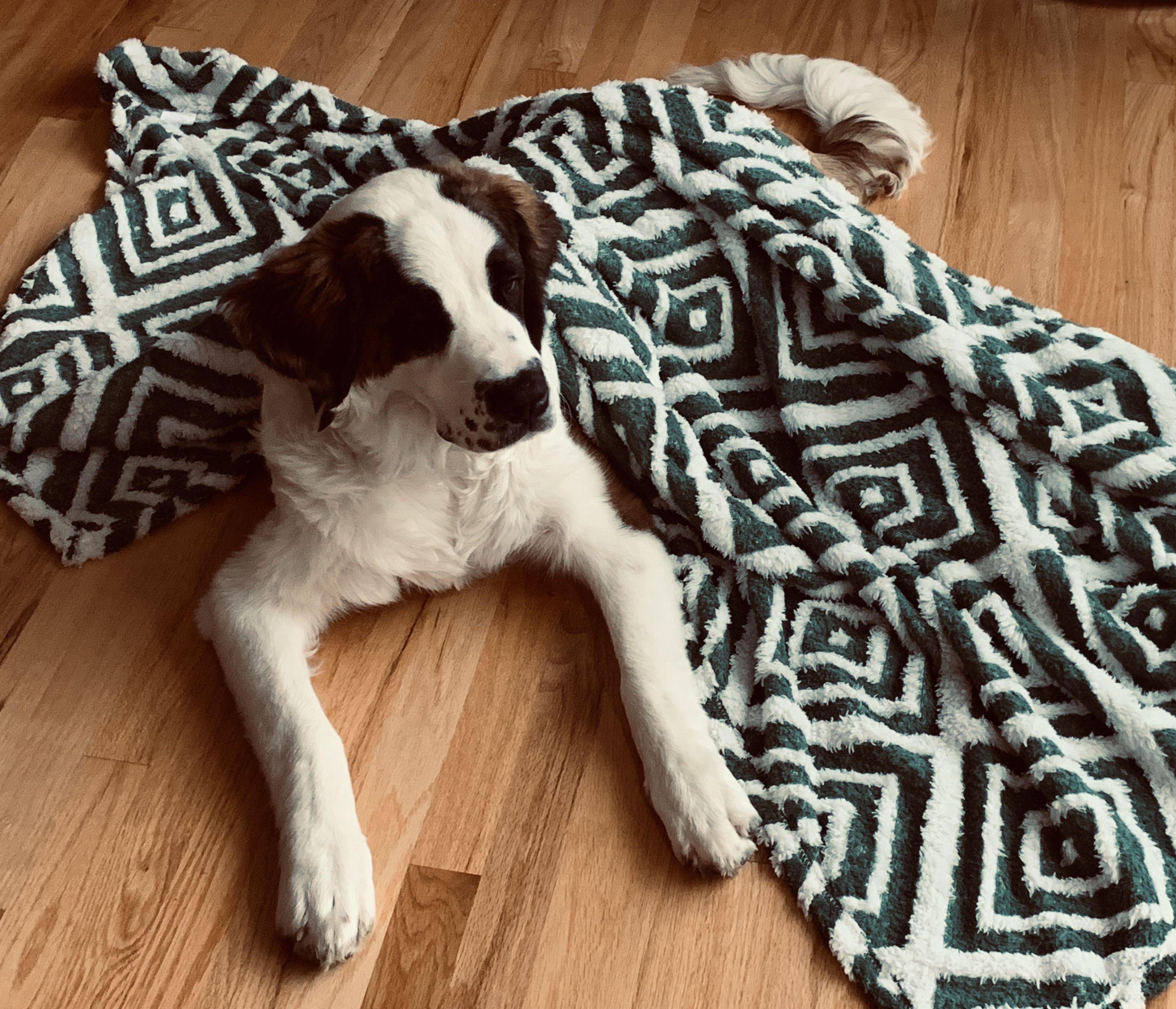 Lucy 8 month old St Bernard Animal print rug, St