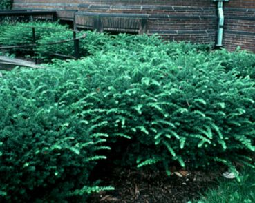 Taunton Yew This Is A Great Evergreen Shrub For Shadier Areas Maybe Your Backyard Evergreen