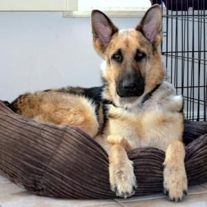 Nemo From Coastal German Shepherd Rescue Of San Diego Needs