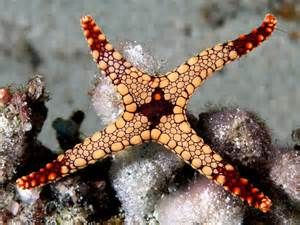 Description Starfish komodo.jpg