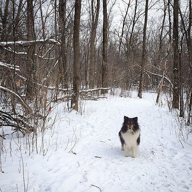 A lone Sheltie in the woods. #dogpark #Sheltie