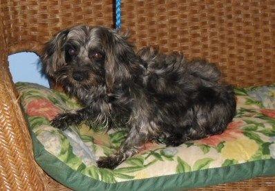 Petfinder Adoptable Poodle Dog Tulsa Ok Willow Poo Yorkie Mix Female Black W Silver 4 Yrs Reason In Rescu Dog Adoption Yorkie Mix Love Your Pet