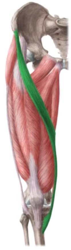 Vista 2 Sartorio   Preparación fisica   Pinterest   Músculos ...