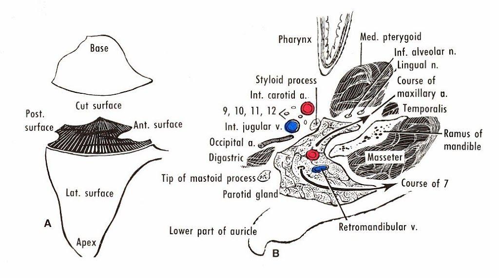 Anatomy of Parotid Gland | Medical students and Medicine