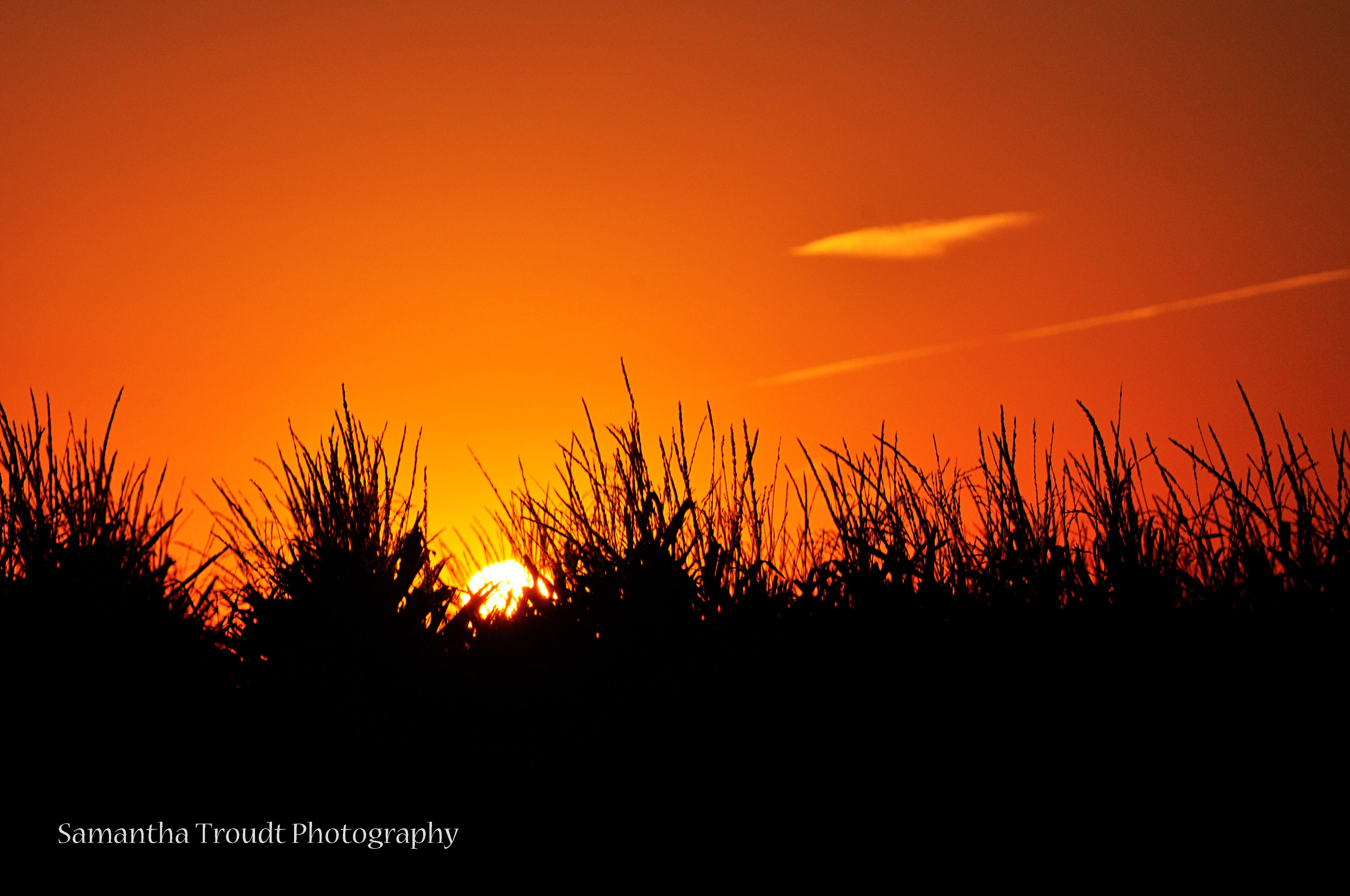 Sun rising behind a field of corn.