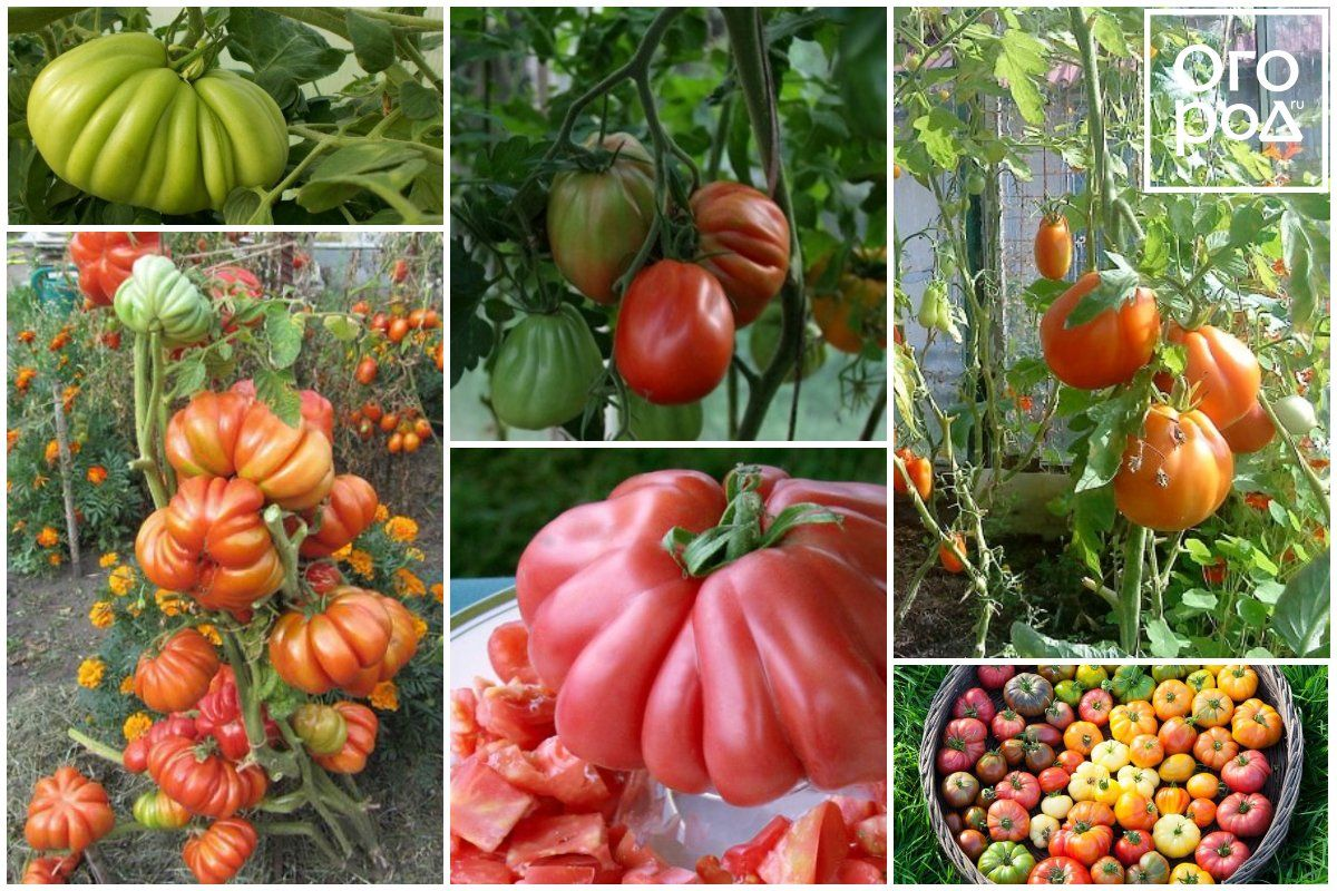 сахарные сорта томатов для теплиц