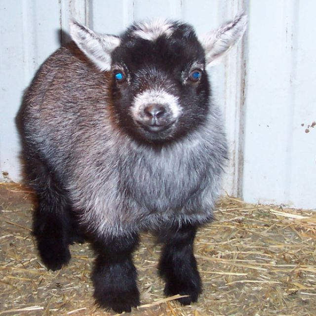 Pygmie goat....looks like a stuffed animal. Too cute