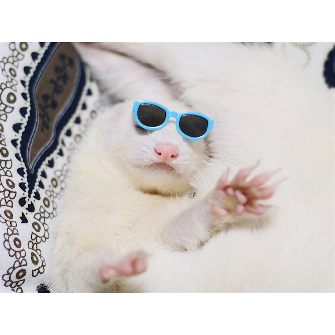 "2,334 Likes, 1 Comments - ferret bisco pino (@pyonjet915) on Instagram: ""* とても暑い日だ * * #animals #adorable #ferretgram #ferret #フェレット #instacute #ferretism #lovely…"""