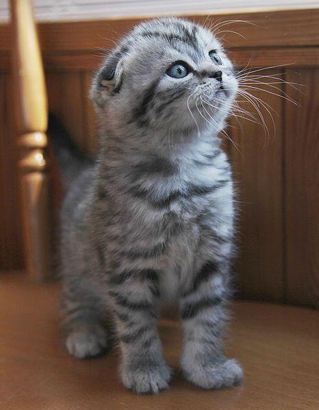 Scottish Fold Kittens For Sale Ireland