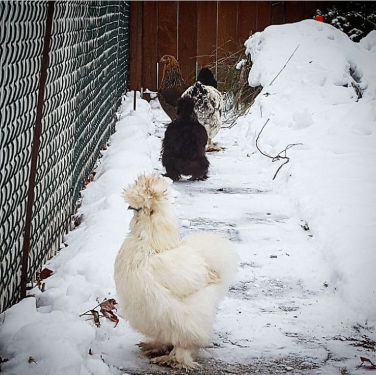 Keeping Chickens in the Winter | Chickens in the winter ...