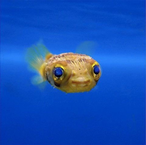 Baby puffer fish can pass off as e t young people fish for A puffer fish