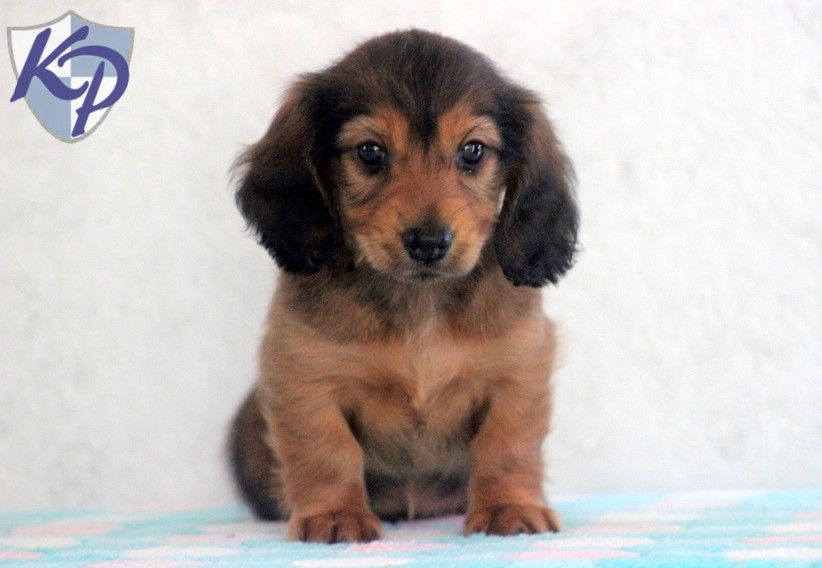 Daisy dachshund miniature puppies for sale in pa
