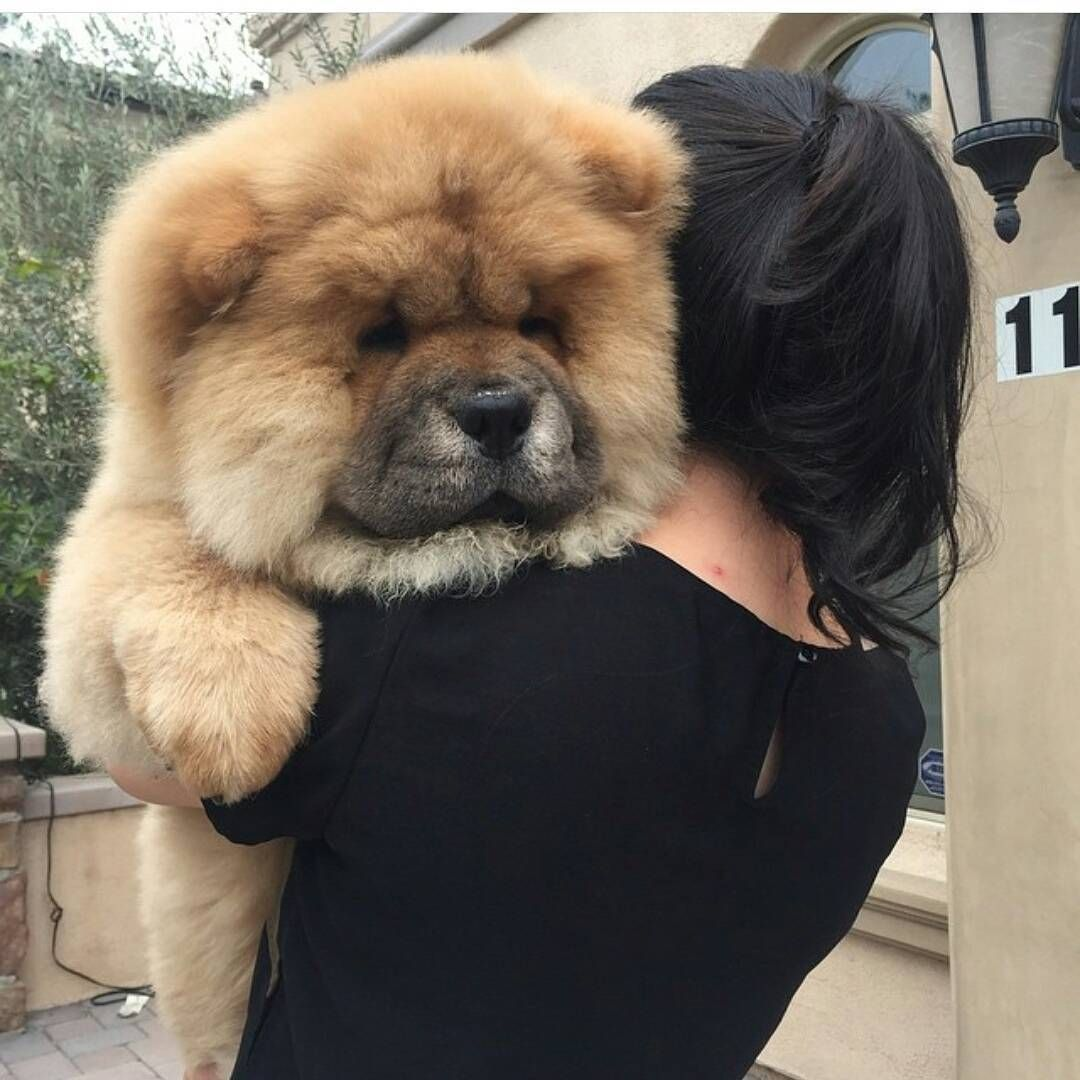Mi Piace 933 Commenti 2 The Official Page Chowchow
