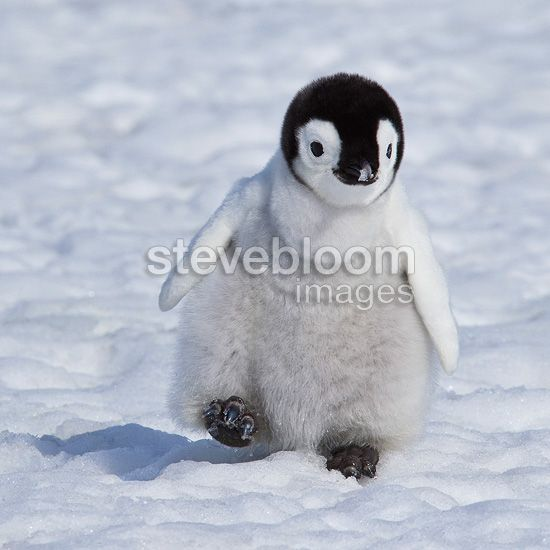 emperor penguin chicks | Emperor Penguin chick walking on the ice ...