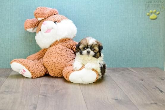 """"""""""" Cute & Cuddly """""""" Check out this Shih Tzu Puppy and many more pups at www.BuckeyePuppies.com #BuckeyePuppies #ShihTzuPup #CuteAndCuddly"""