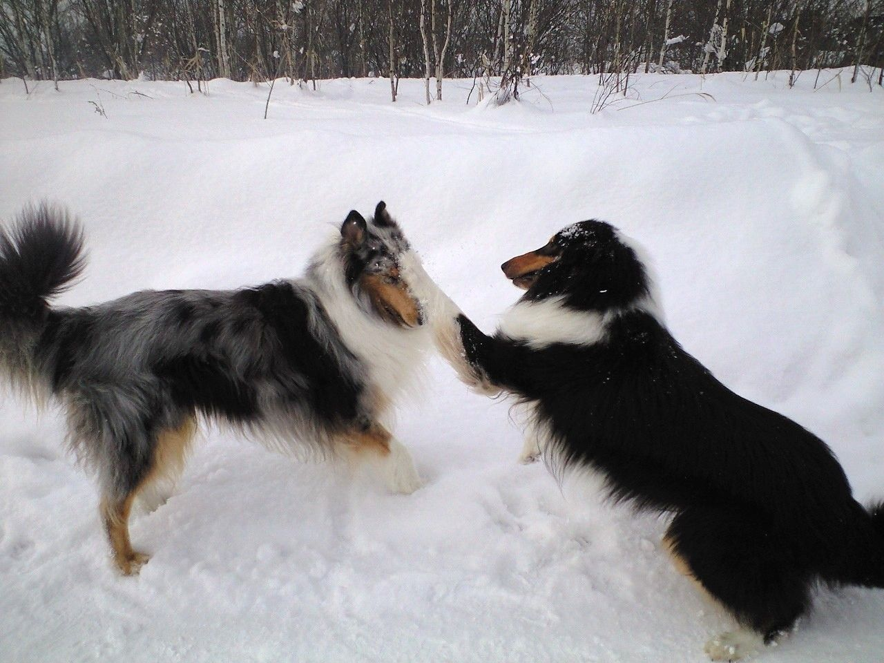 """Tag, you're it!"" rough collies"